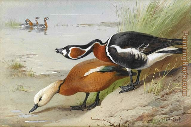 Archibald Thorburn Ruddy Shelduck and Red Breasted Goose Art Painting