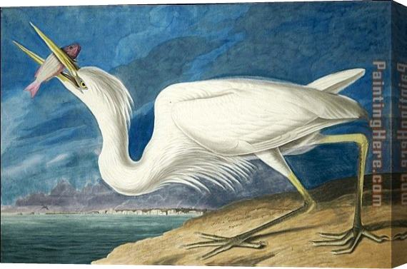 John James Audubon Great White Heron Stretched Canvas Painting
