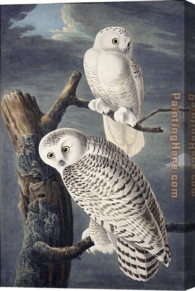 John James Audubon Snowy Owl Stretched Canvas Painting